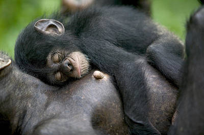 Sleeping Baby Chimpanzee Art Print by Cyril Ruoso