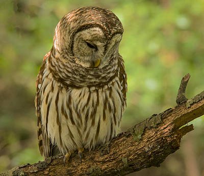 Photograph - Sleeping Barred Owl by Jean Noren