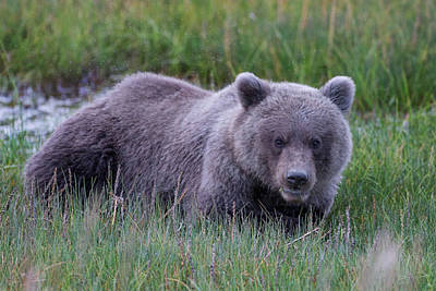 Laying Down Photograph - Sleeping Bear by Ed Boudreau