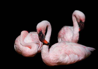 Birds Royalty-Free and Rights-Managed Images - Sleeping Beauties by Rebecca Cozart