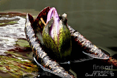 Sleeping Beauty In Water Lily Pond Art Print by Carol F Austin