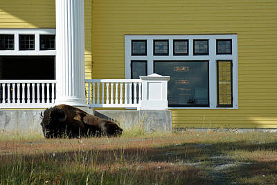 Photograph - Sleeping Bison At Lake Yellowstone Hotel by Bruce Gourley