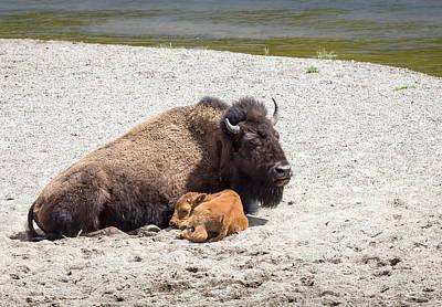 Photograph - Sleeping Bison by Michael Chatt