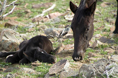 Photograph - Sleeping Black Mustang Foal And Mare by Waterdancer
