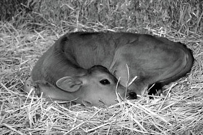 Photograph - Sleeping Calf by Jenny Mead
