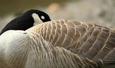 Photograph - Sleeping Canadian Goose by Pierre Leclerc Photography