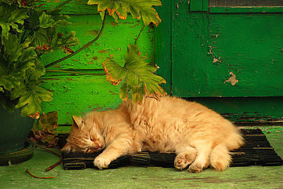 Photograph - Sleeping Cat by Harry Spitz