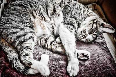 Photograph - Sleeping Cat by Sharon Popek