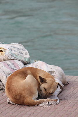 Photograph - Sleeping Dog, Haridwar by Jennifer Mazzucco