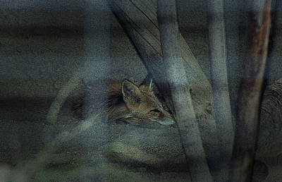 Photograph - Sleeping Fox by Maria Reverberi