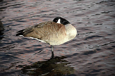 Photograph - Sleeping Goose by Alex Galkin