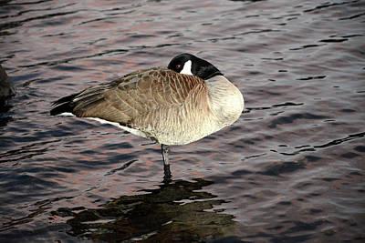 Photograph - Sleeping Goose by Alex Galkin
