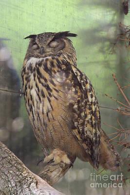 Comedian Drawings - Sleeping Great Horned Owl by Brandy Woods