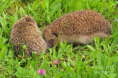 Photograph - Sleeping Hedgehogs by Frank Townsley