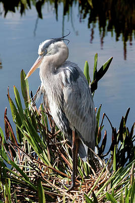 Photograph - Sleeping Heron by Arthur Dodd