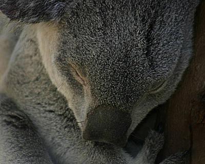 Photograph - Sleeping Koala Bear by Anthony Jones