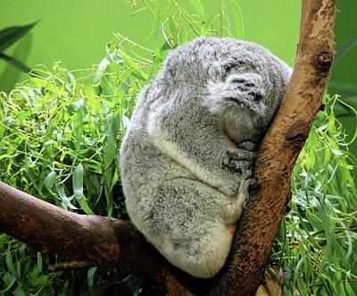 Photograph - Sleeping Koala Bear by Cathy Harper