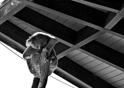 Photograph - Sleeping Koala by Miroslava Jurcik