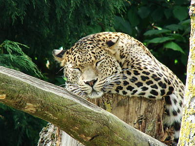 Photograph - Sleeping Leopard by Nicola Butt