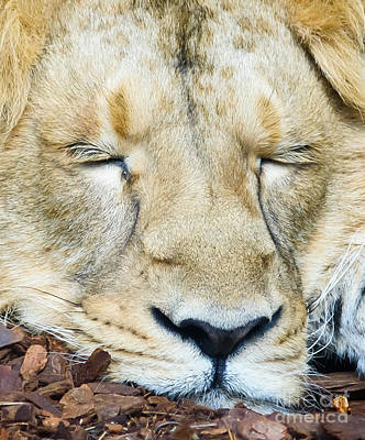 Sleeping Lion Art Print