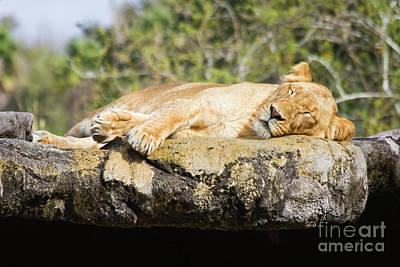 Sleeping Lion Art Print