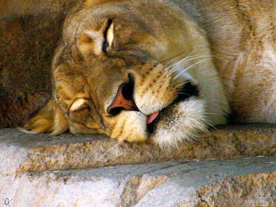 Lion In Waiting Photograph - Sleeping Lioness by Debra     Vatalaro
