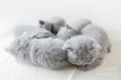 Photograph - Sleeping Little Cats In A Group. British Shorthair. by Michal Bednarek