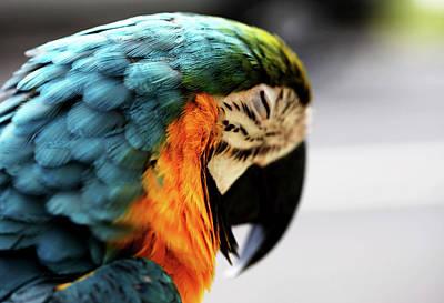 Sleeping Macaw Art Print by Dan Pearce