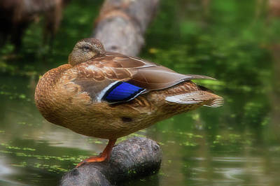 Photograph - Sleeping Mallard by Craig Strand