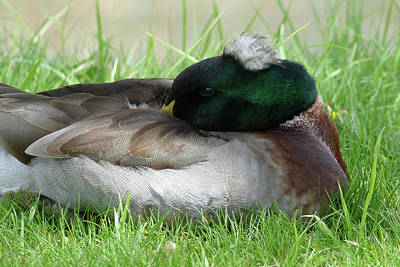 Photograph - Sleeping Mallard With Tuft by Bill Jordan