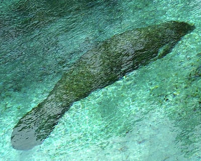 Photograph - Sleeping Manatee In Three Sisters Springs by Judy Wanamaker