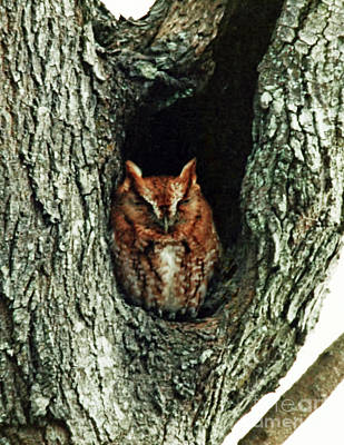 Photograph - Sleeping Owl by D Hackett