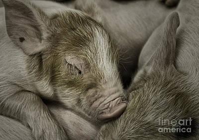 Sleeping Piglet Art Print by Brad Allen Fine Art