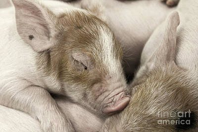Photograph - Sleeping Piglet by Brad Allen Fine Art