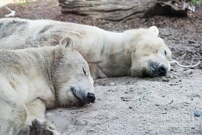 Photograph - Sleeping Polar Bears by Michael Ver Sprill