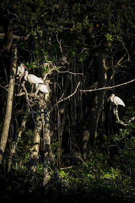 Ibis Photograph - Sleeping Quarters by Marvin Spates