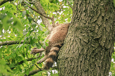 Photograph - Sleeping Racoon by Joni Eskridge