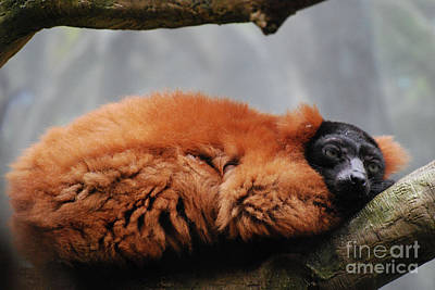 Red-ruffed Lemur Photograph - Sleeping Red Ruffed Lemur Curled Up In A Tree by DejaVu Designs