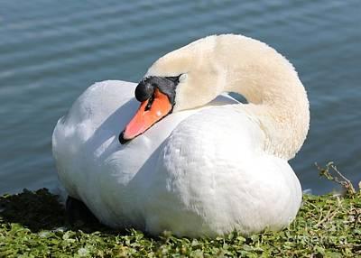 Photograph - Sleeping Swan 2 by Carol Groenen
