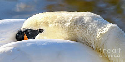 Photograph - Sleeping Swan by Colin Rayner