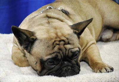 Adorable French Bulldog Puppy Photograph - Sleeping Tan French Bulldog by DejaVu Designs