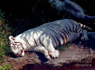 Feline Photograph - Sleeping - Tiger by D Hackett