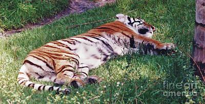 Photograph - Sleeping - Tiger - Green - Grass by D Hackett