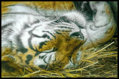Cats Photograph - Sleeping Tiger by LeeAnn McLaneGoetz McLaneGoetzStudioLLCcom