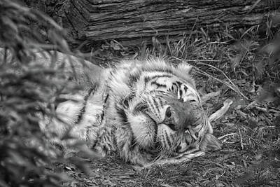 Siberia Photograph - Sleeping Tiger by Martin Newman
