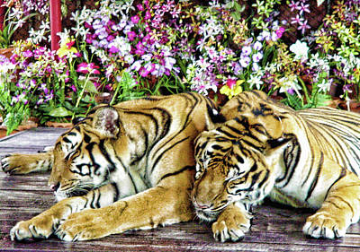 Photograph - Sleeping Tigers by Judi Saunders