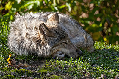 Sleeping Timber Wolf Art Print by Michael Cummings