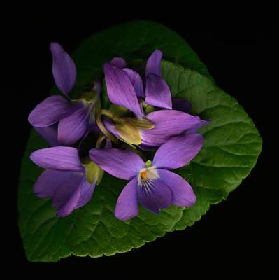 Purple Flowers Digital Art - Sleeping Violets by Marsha Tudor