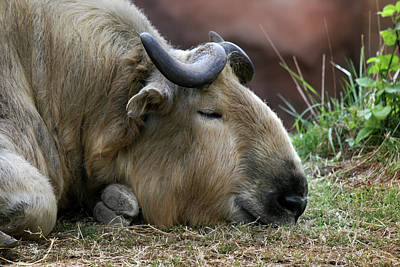 Photograph - Sleeping Waterbuffalo by Ann Lauwers