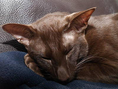 Photograph - Sleeping Whiskers by Michael Canning
